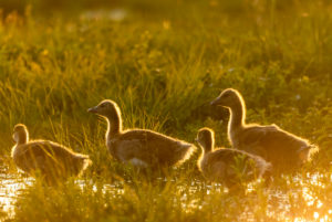 Greylag goose with cubs in the golden evening light during sunset in a fresh summer meadow during high tide at the Osterseen at Iffeldorf.