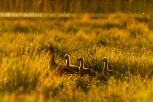 Graugans mit Jungtieren im goldenen Abendlicht während Sonnenuntergang in einer frischen Sommerwiese während Hochwasser an den Osterseen bei Iffeldorf.