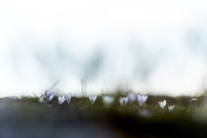A row of crocus blossoms stand on the horizon in front of gloomy Himmerl and Baumschemen