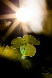 Clover in the shady forest, stretches towards the sun star