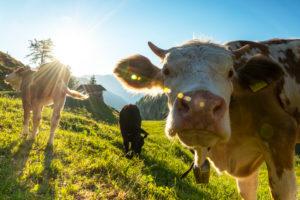 Morgenstimmung mit Kuh auf der Gütenbergalm in Tirol
