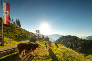 Morning mood with cow on the Gütenbergalm in Tyrol