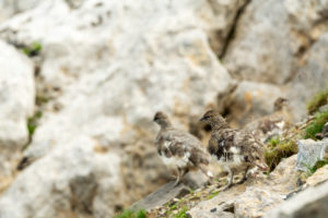 Alpine ptarmigan in the Karwendel