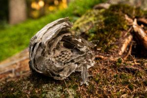 Ein aufgebrochenes Wespennest am Waldboden