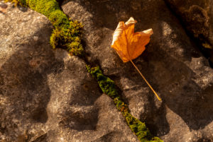 Dead maple leaf, lying on a stone in the evening light on the banks of Lake Walchensee. A line of moss divides the picture.