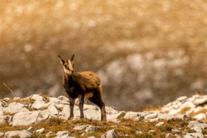 A chamois in the Karwendel in autumnal evening light
