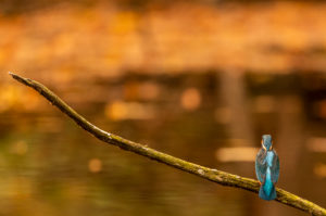 A male kingfisher in his waiting room