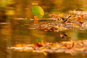 Gebirgsstelze an einem kleinen Bachlauf im Herbst