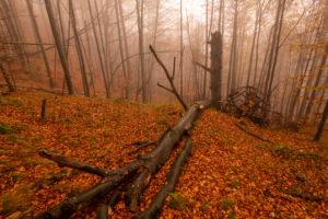 Ein alter gebrochener Baum im Herbst bei Nebel am Berghang