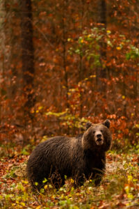 Wild European brown bear in the autumn forest