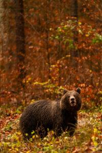 Wilder europäischer Braunbär im herbstlichen Wald