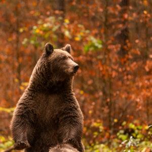 Ein wilder Braunbär schaut sich auf die Hinterläufe aufgestellt, nach möglicher Gefahr um.