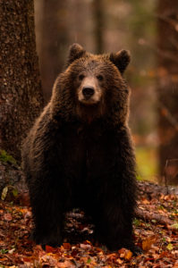 A young brown bear looks into the camera in the rain