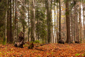 Four European brown bears foraging in a forest in autumn