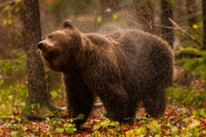 Ein europäischer Braunbär schüttelt sein nasses fell vom herbstlichen Regen ab