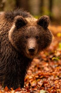 Ein junger Braunbär mit nassem Fell vom Herbstregen im Portrait