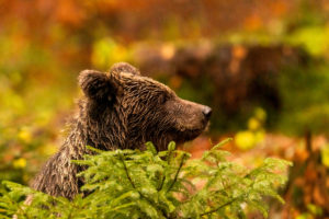An approximately 2 year old brown bear in a portrait behind a spruce