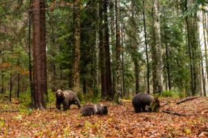 Eine Gruppe Braunbären im Wald