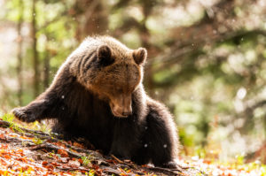 A portrait of a three-year-old wild brown bear