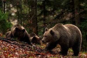 Wilde Braunbären im Wald