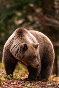 Wilde Braunbärin im Wald