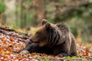 Ein ungefähr dreijähriger wilder Braunbär im Portrait