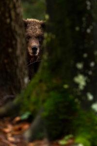 Junger wilder Braunbär mit nassem Fell, schaut zwischen zwei Baumstämmen zum Betrachter