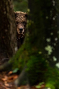 Young wild brown bear with wet fur looks between two tree trunks towards the viewer
