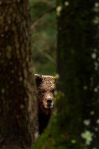 Junger wilder Braunbär versteckt sich zwischen zwei Bäumen im Wald.
