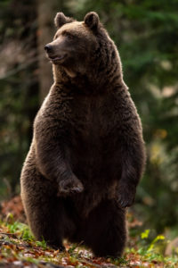 A wild brown bear looks around cautiously, standing on its hind legs