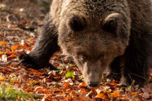 Junger wilder Braunbär im Herbstlaub schaut zur Kamera