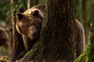 Wilder Braunbär schaut zwischen Bäumen zum Betrachter