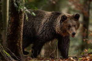 Wilder Braunbär im Wald, aufgenommen in Slovenien