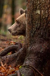 Wilder Braunbär in den Alpen von Slovenien hinter einem Baumstamm mit Wurzel, schaut zur Bildseite