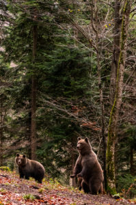 Two wild brown bears in a clearing
