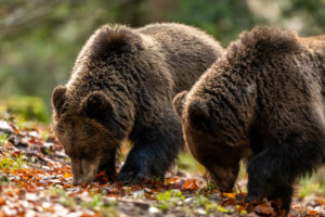 Two young wild brown bears are looking for food
