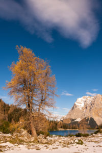 Winter with a tree on the bank of the Seebensee in Tyrol, in the background Wetterstein and Zugspitze.