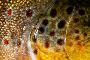 Fischhaut bzw. Muster der Bachforelle