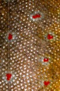 Fish skin or pattern of the brook trout