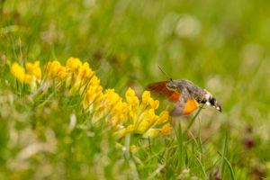 Taubenschwänzchen (Macroglossum stellatarum) auf gelben Blüten im Hochgebirge des Karwendel