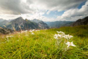 Alpine Edelweiss flowers in the Karwendel