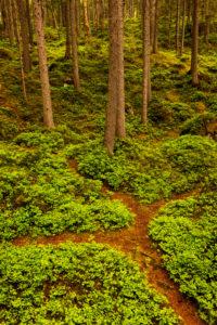 Waldweg mit Weggabelung zwischen Heidelbeerpflanzen im Wald nahe dem Eibsee bei Garmisch-Partenkirchen im Wettersteingebirge.