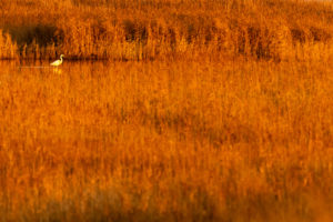 Great Egret with reflection between reed stalks in the golden evening light