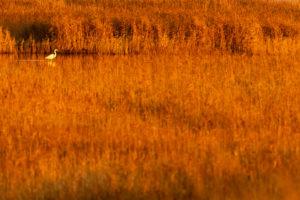 Silberreiher mit Spiegelung zwischen Schilfhalmen im goldenen Abendlicht