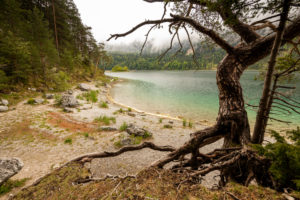 Alte Kiefer mit Wurzel am Ufer des Eibsee unterhalb der Zugspitze im Frühjahr.