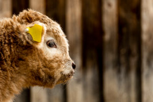 Portrait of an approx. 2 week old highland cattle