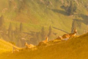 Eine Gruppe überwiegend weiblciher Steinböcke mit Kitz, liegt entspannt an einem Berghang im Karwendel auf einer Bergwiese im warmen Sonnenlicht eines Spätsommermorgens. Das Kitz schaut zru Kamera