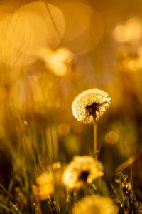 Frühlingsonne in einer Blumenwiese mit Löwenzahn / Pusteblume im warmen Gegenlicht der untergehenden Sonne.