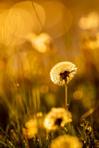 Spring sun in a flower meadow with dandelions / dandelions in the warm backlight of the setting sun.