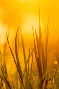 Close up of blades of grass in springtime in the warm golden light of the setting sun.